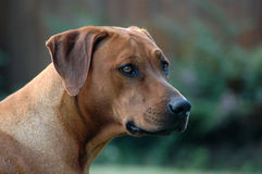 Rhodesian Ridgeback portrait. A red wheaten Rhodesian Ridgeback dog head portrait with alert expression in the face watching other dogs in the park outdoors Stock Image