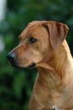 Rhodesian Ridgeback portrait. Outdoor head portrait of a beautiful Rhodesian Ridgeback dog Royalty Free Stock Photo