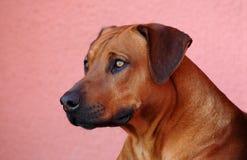Rhodesian Ridgeback portrait Stock Image