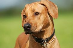 Rhodesian ridgeback portrait. Portrait of rhodesian ridgeback female Stock Photo