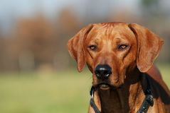 Rhodesian ridgeback portrait. Portrait of rhodesian ridgeback male Royalty Free Stock Photos