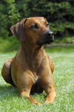 Rhodesian ridgeback portrait. Portrait of a rhodesian ridgeback lying in the green grass looking with very nice expression royalty free stock image