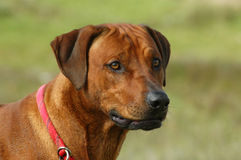 Rhodesian Ridgeback portrait Royalty Free Stock Photography