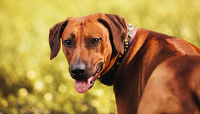 Rhodesian Ridgeback portrait in autumn Royalty Free Stock Photography