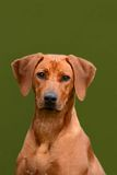 Rhodesian Ridgeback junior dog portrait Stock Image