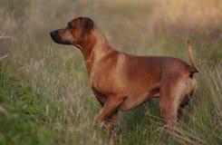 Rhodesian Ridgeback. Portrait of an Rhodesian Ridgeback Livernose male Stock Photo