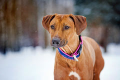Rhodesian Ridgeback portrait on winter background Stock Images