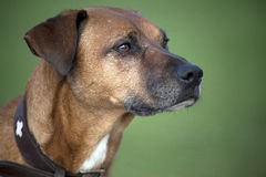 Rhodesian Ridgeback poursuit le portrait photographie stock libre de droits