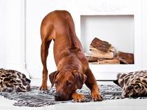 Rhodesian Ridgeback psa chylenie z swój granią wyjawiającą Fotografia Stock