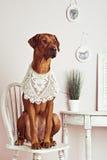 Rhodesian Ridgeback psa damy obsiadanie wewnątrz bezcelowość Zdjęcie Royalty Free