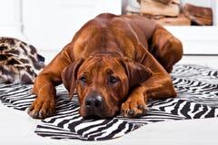 Rhodesian Ridgeback psa lying on the beach na zebra dywanie Obrazy Stock