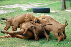 Rhodesian Ridgeback puppies. Red wheaten active Rhodesian Ridgeback dog puppies playing together with their mum. One puppy of the litter is on top. This baby is Royalty Free Stock Image