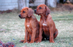 Rhodesian Ridgeback puppies. Two cute purebred Rhodesian Ridgeback dog puppies watching to the left in a garden in South Africa Stock Photos