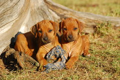 Rhodesian Ridgeback puppies Stock Images