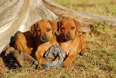 Rhodesian Ridgeback puppies stock images
