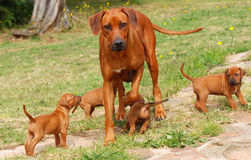 Rhodesian Ridgeback with puppies. A beautiful purebred Rhodesian Ridgeback female playing with her four puppies outdoors Stock Images