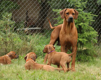 Rhodesian ridgeback with puppies in the garden Royalty Free Stock Image