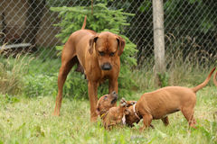 Rhodesian ridgeback with puppies in the garden Royalty Free Stock Photo