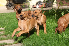 Rhodesian ridgeback puppies Royalty Free Stock Photo