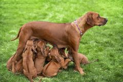 Rhodesian ridgeback puppies. Rhodesian Ridgeback nursing her puppies on green grass stock photo