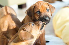 Rhodesian Ridgeback puppies playing Royalty Free Stock Photos