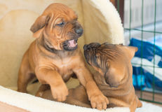 Rhodesian Ridgeback puppies playing royalty free stock image