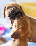 Rhodesian Ridgeback puppies playing stock photo