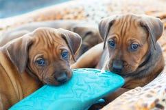 Rhodesian Ridgeback puppies playing stock image