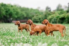 Rhodesian Ridgeback puppies are walking in a flowering meadow royalty free stock images