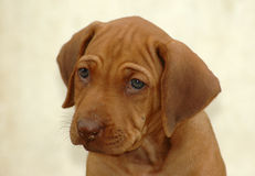Rhodesian Ridgeback puppy. A beautiful little African Rhodesian Ridgeback hound puppy dog head portrait with cute and sad expression in the pretty face watching Stock Photos