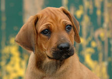 Rhodesian Ridgeback puppy. Cute little red wheaten Rhodesian Ridgeback dog puppy watching his master and other dogs Royalty Free Stock Photo