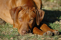 Rhodesian Ridgeback puppy. Portrait of cute Rhodesian ridgeback puppy dog resting outdoors Royalty Free Stock Photography