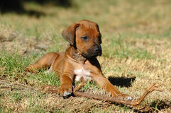 Rhodesian Ridgeback puppy. Cute Rhodesian ridgeback puppy resting on grass Stock Photography