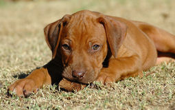 Rhodesian Ridgeback puppy. Head of a cute young little inactive liver nosed Rhodesian Ridgeback dog puppy watching other dogs Stock Images
