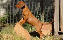 Rhodesian Ridgeback puppy. Cute young little purebred Rhodesian Ridgeback dog puppy standing on a rock watching other dogs Royalty Free Stock Photo