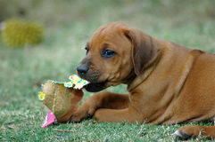 Rhodesian Ridgeback puppy. A red wheaten active Rhodesian Ridgeback puppy chewing on paper and watching the other puppies of the litter. This baby is very cute Stock Photo