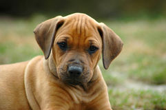 Rhodesian Ridgeback puppy. A young Rhodesian Ridgeback dog puppy watching the other puppies of the litter. This baby is very cute Stock Photo