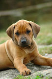 Rhodesian Ridgeback puppy. A young Rhodesian Ridgeback dog puppy watching the other puppies of the litter. This red wheaten baby is very cute royalty free stock image