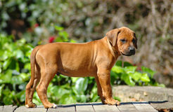 Rhodesian Ridgeback puppy. A red wheaten Rhodesian Ridgeback dog puppy standing on a wall in the garden. This baby is cute Royalty Free Stock Images