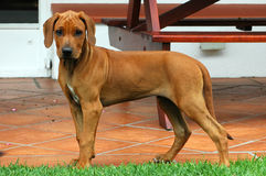 Rhodesian Ridgeback puppy Stock Photography