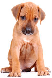 Rhodesian Ridgeback puppy royalty free stock images