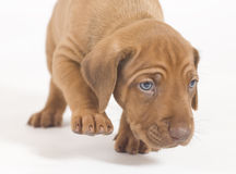Rhodesian Ridgeback puppy, 5 weeks old, walking Stock Photos