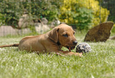 Rhodesian Ridgeback puppy, 6 weeks old Royalty Free Stock Photo