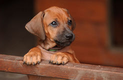 Rhodesian Ridgeback Puppy. A Rhodesian Ridgeback Puppy is looking after his brothers and sisters Stock Photo