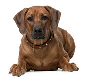 Rhodesian Ridgeback puppy, 7 months old, lying Royalty Free Stock Photo