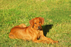Rhodesian Ridgeback puppy Royalty Free Stock Photography