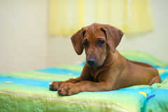 Rhodesian ridgeback puppy on a bed Royalty Free Stock Photos