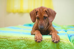 Rhodesian ridgeback puppy on a bed Stock Images
