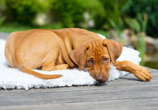 Rhodesian Ridgeback puppy on blanket Royalty Free Stock Photography
