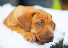 Rhodesian Ridgeback puppy with blue eyes. An african Rhodesian Ridgeback puppy is looking straight. The little dog has light blue eyes. It is lying in front of royalty free stock image